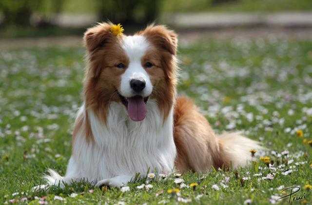 ძაღლი