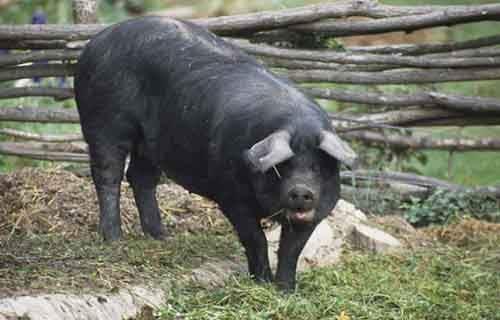 შავი ღორი
