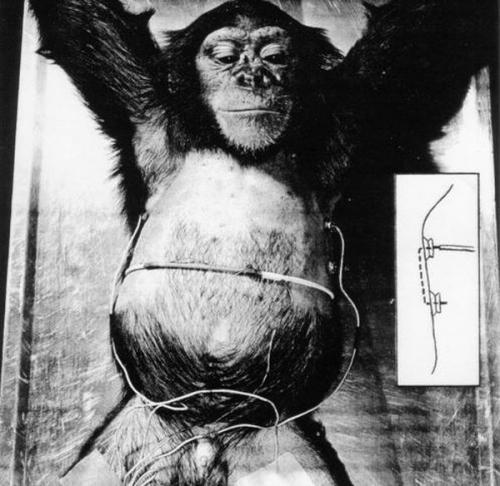 ასტრონავტი შიმპანზე ჰემი