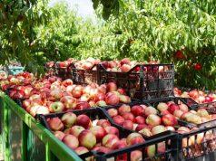 100 килограммов яблок Гонконга «звенят», а 466 тонн России – нет?